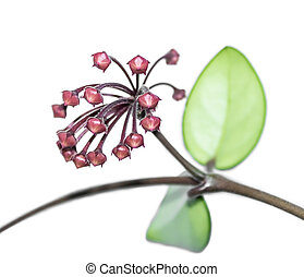 Flower buds Hoya, wax ivy, among green leaves Isolated on...