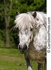 shetland pony - Head of the horse - shetland pony. Photo of...