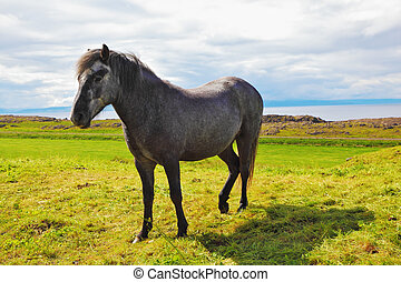 Farmer gray horse - Beautiful horse grazing in meadow near...