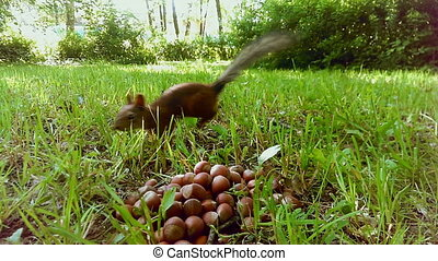 a cute little squirrel eating nuts
