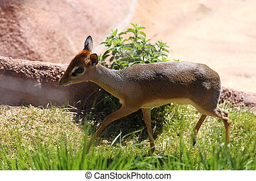 Dik Dik - A Dik Dik, Madoqua gunther, walking through a...