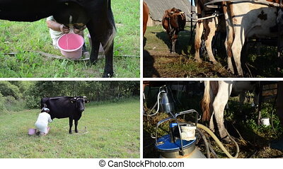 cow milking collage - Woman manually milk cow in meadow....