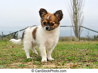 puppy chihuahua - portrait of a purebred puppy chihuahua in...