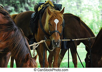 Horses at a civil war reenactment