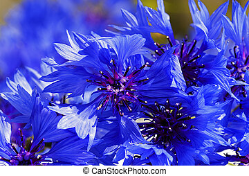 cornflower - the cornflower of blue color photographed by a...