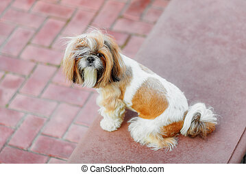 Shihtzu dog looking at camera in the backyard