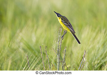 Yellow wagtail - yellow wagtail in a grain field on a branch