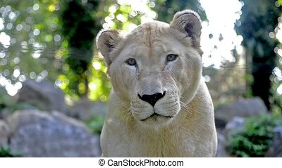 lioness portrait - beautiful white lion portrait close up