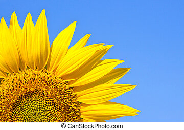 sunflower on blue sky background - close-up of bright yellow...