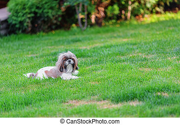 Shihtzu dog looking at camera in the backyard shallow dof