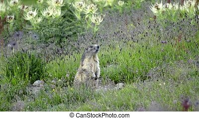 alpine marmot - beautiful groundhog into the wild