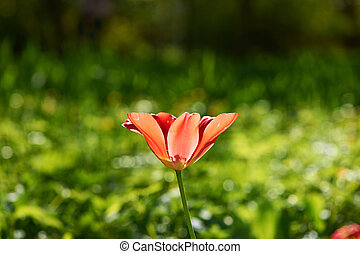 Single tulip on meadow - Single tulip on green meadow