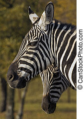 Grants Zebra Equus quagga boehmi - Grants Zebra with young...