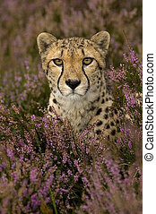 cheetah - Cheetah between flowers
