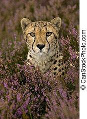 cheetah - Cheetah between flowers