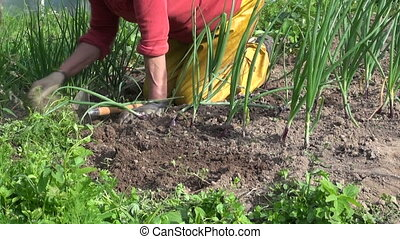 woman farmer weeding - Old farmer woman weeding between...