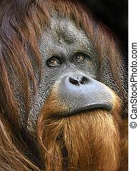 Sumatran orangutan (Pongo abelii) - Closeup portrait of the...