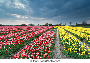 tulip field in Holland - colorful spring tulip field in...