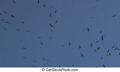Vultures in flight - Big group of Vultures in flight against...