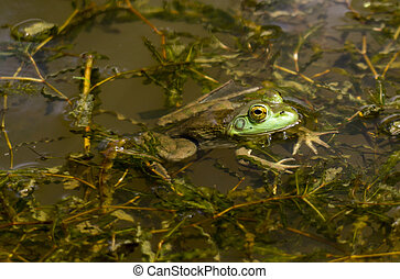 Bull Frog Enjoying The Sunny Day - A Bull Frog enjoying a...