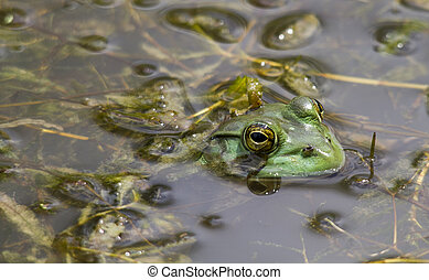 Bull Frog Hunting Insects - Bull frog hunting insects in the...