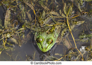 Top View Of Bull Frog - Top view of a bull frog hunting...