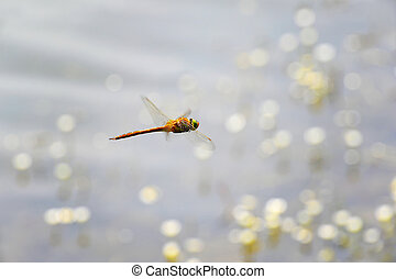 Dragonfly close-up flying over water - Dragonfly Sympetrum...