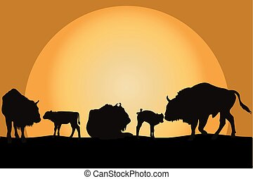 Bisons family at sunset - Sillouettes of bisons family at...