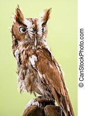 Eastern Screech Owl - Portrait of an Eastern Screech Owl...