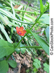 Scarlet pimpernel (Anagallis arvensis) in the meadow
