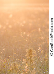 background golden sunlight in meado - wild meadow with...