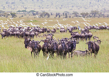 Herd of Wildebeests grazing in Serengeti - Connochaetes Big...