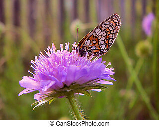 Scabiosa arvensis seated butterfly bariatrica Galatea,...