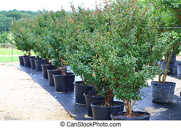 Trees in Plant Nursery - A line up of crape myrtle trees...