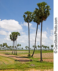 cambodian palms - The picture of antient cambodian palms on...