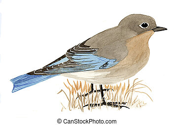 Mountain Bluebird - female - Sialia currucoides