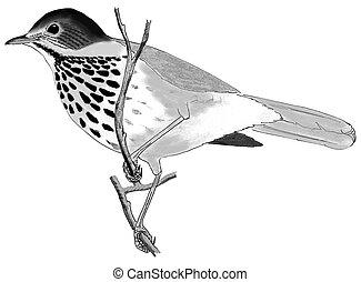 Gray-cheeked Thrush - Catharus minimus