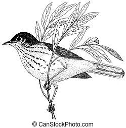 Swainsons Thrush - Catharus ustulatus