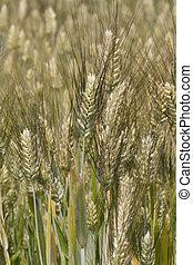 Field of ears of corn