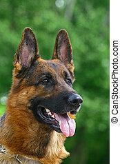 German shepherd male on green background