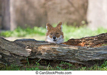 Dhole Cuon alpinus at the zoo