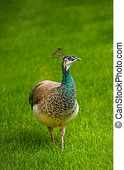 Beautiful Female Peacock Bird on Garden Lawn