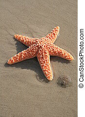 Starfish and SandDollar - A sanddollar lays next to a...