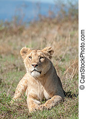 Lioness lying down while looking straight ahead at camera -...