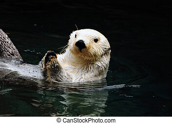 White otter - Arctic white otter breaking clam shells with...