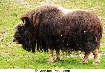 Northern musk ox - Giant muskox covered with woolen fur...