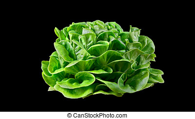 Batavia lettuce - Batavia lettuce isolated over a black...