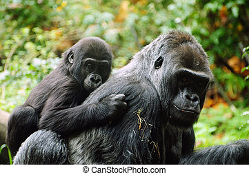 Gorilla mother and child - Gorilla child holds on to his...