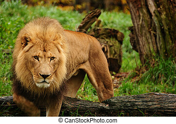 African lion - Adult african lion coming out of the forest...