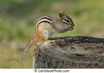 Eastern Chipmunk on a Tree Stump at a Campsite - An Eastern...